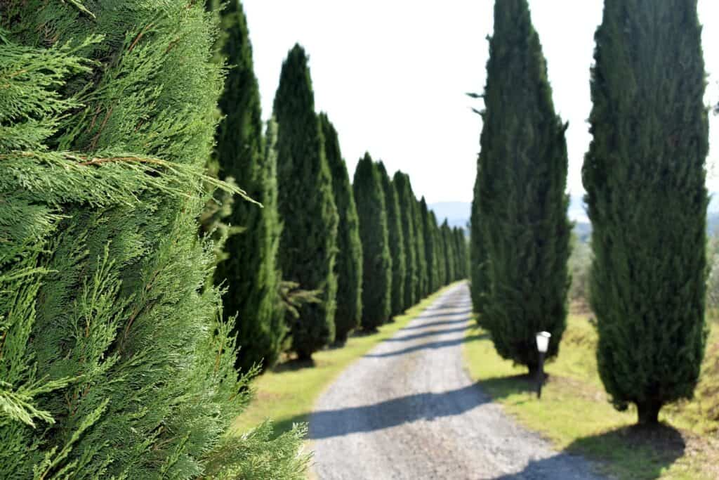 How not to trim evergreen trees