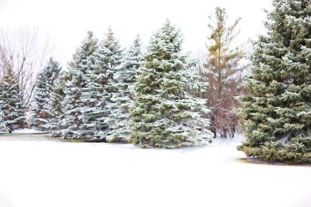 How Long Does It Take to Grow a Christmas Tree?