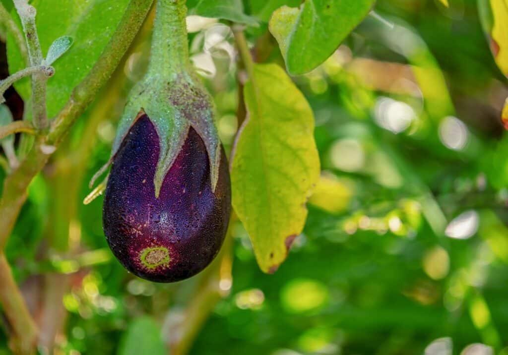 okra companion plants