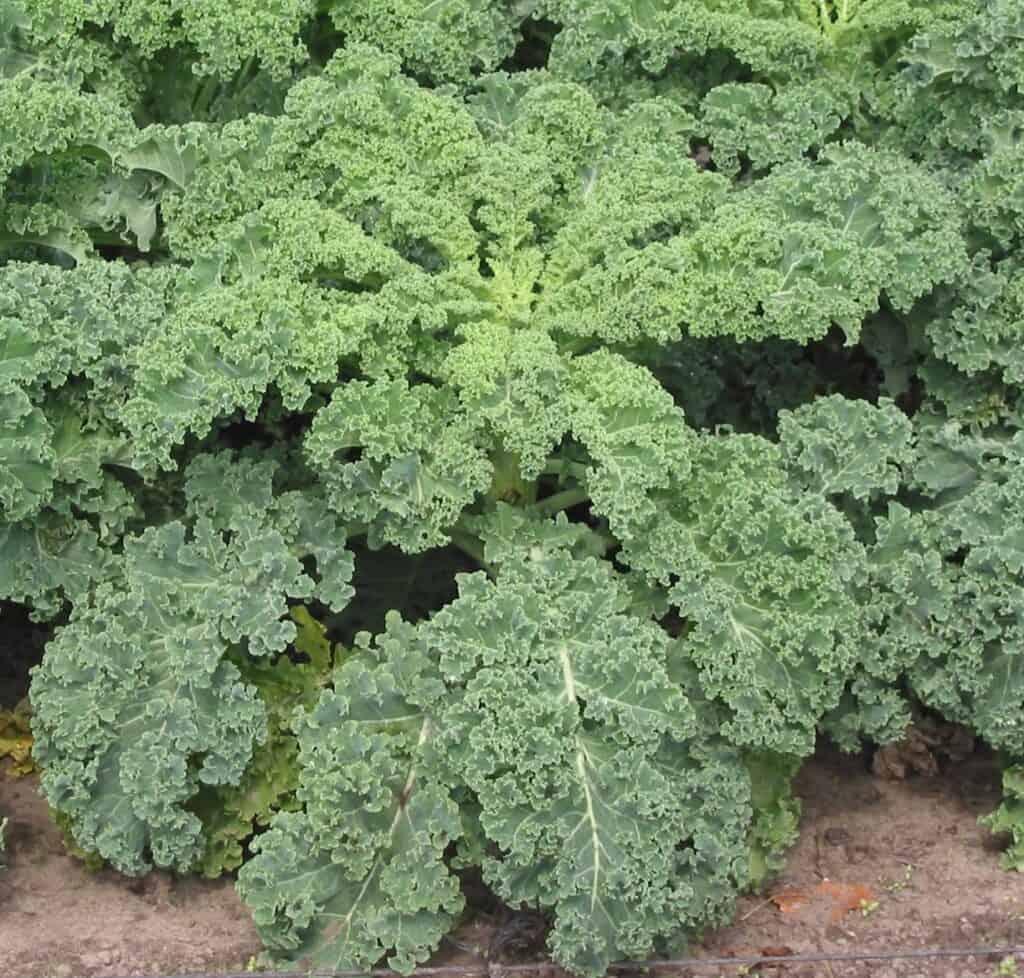 types of kale