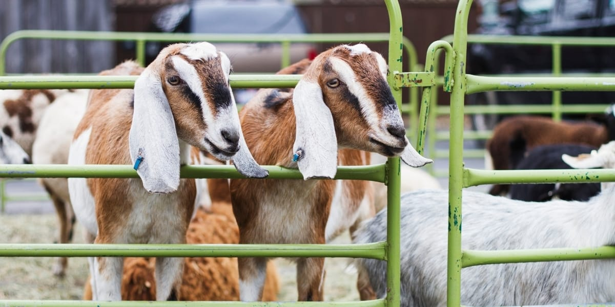 Goat Fencing Ideas