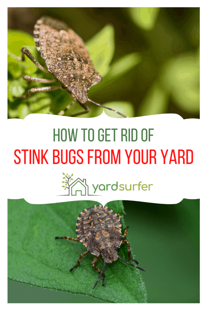 How to Get Rid of Stink Bugs in your Backyard   Yard Surfer