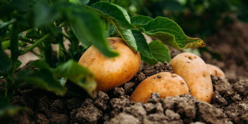 Potato Companion Plants: What to Plant With Potatoes ...