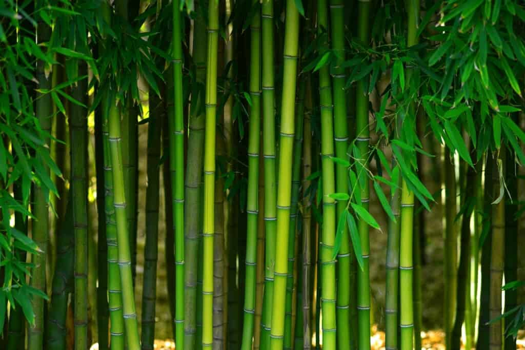 How Fast Does Bamboo Grow