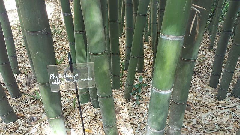 Green Glaucous Bamboo