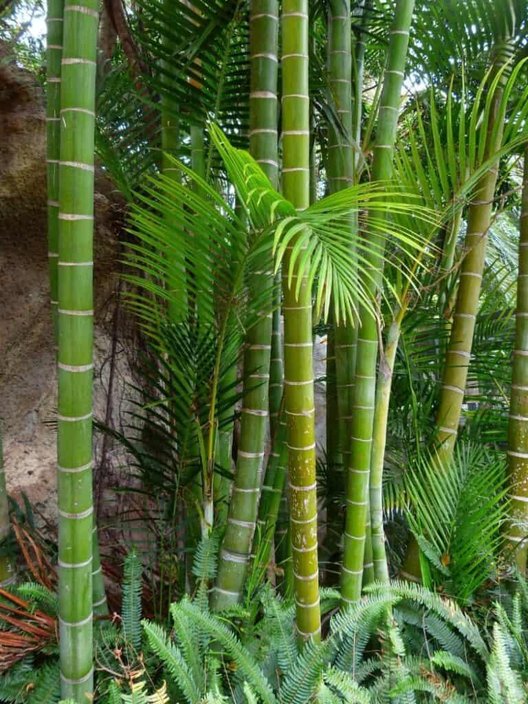 Moso Bamboo