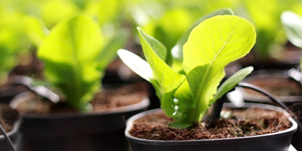 bok choy planting indoors