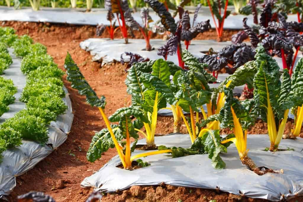 Swiss Chard snipping