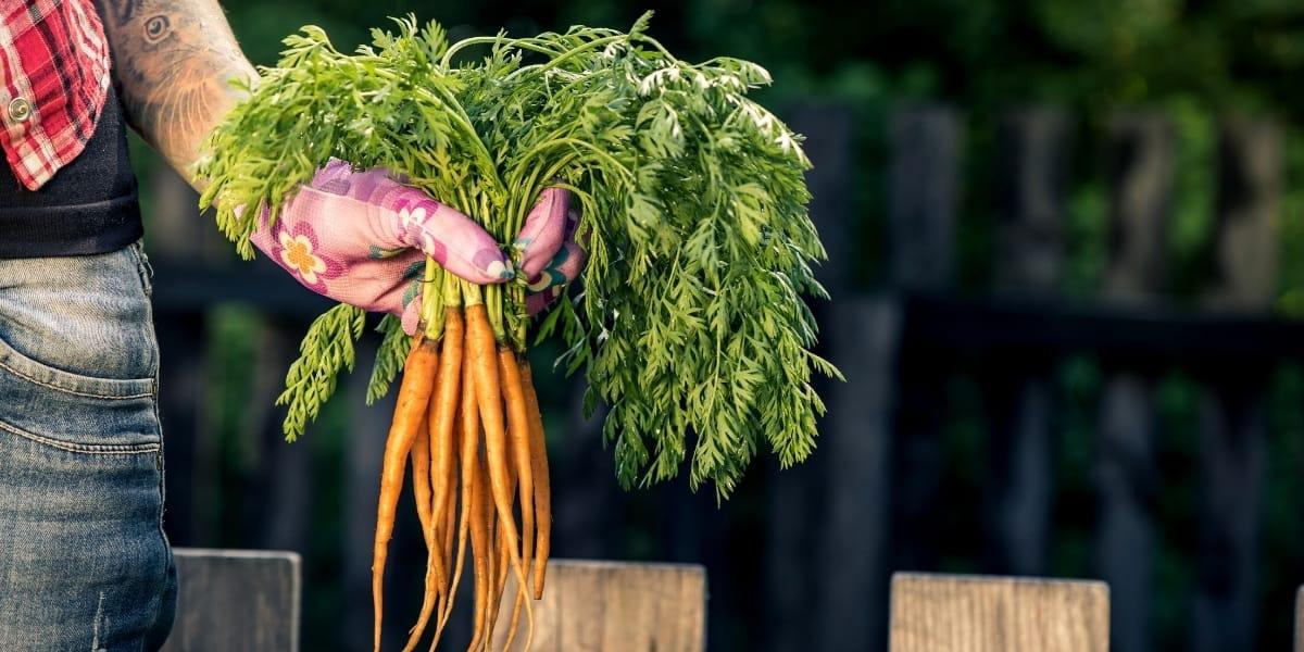 Carrot Companion Plants (9)