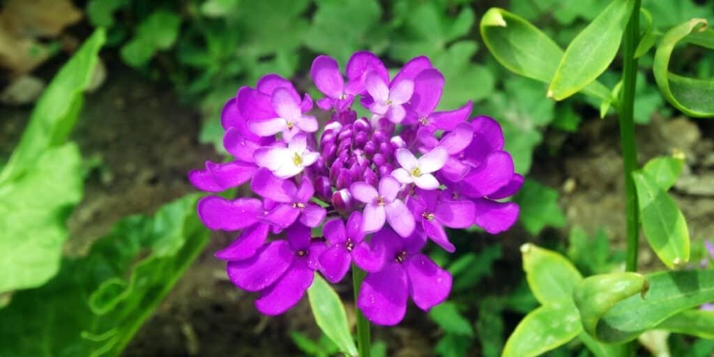 cilantro companion plants