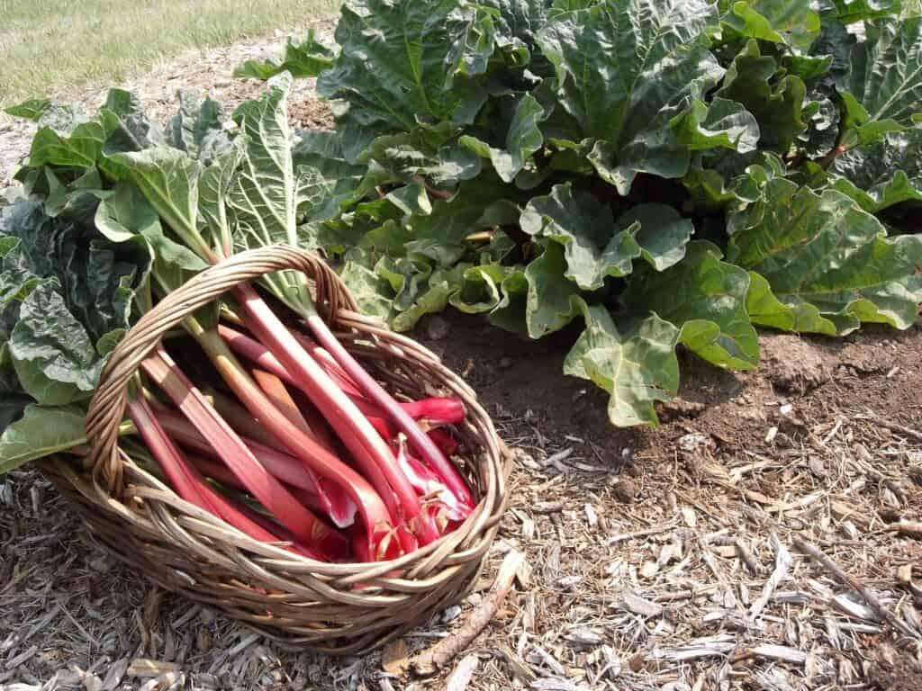 Types of Rhubarb