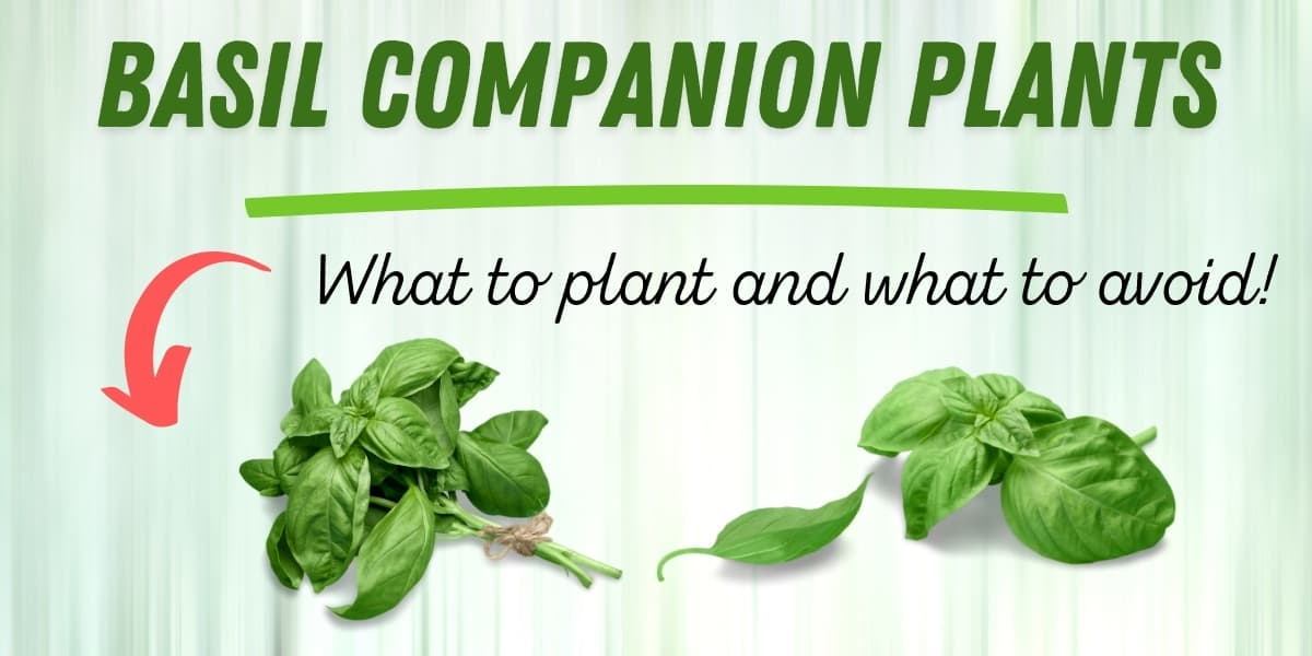 basil companion plants