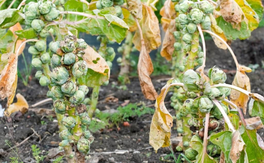 brussel sprouts diseases