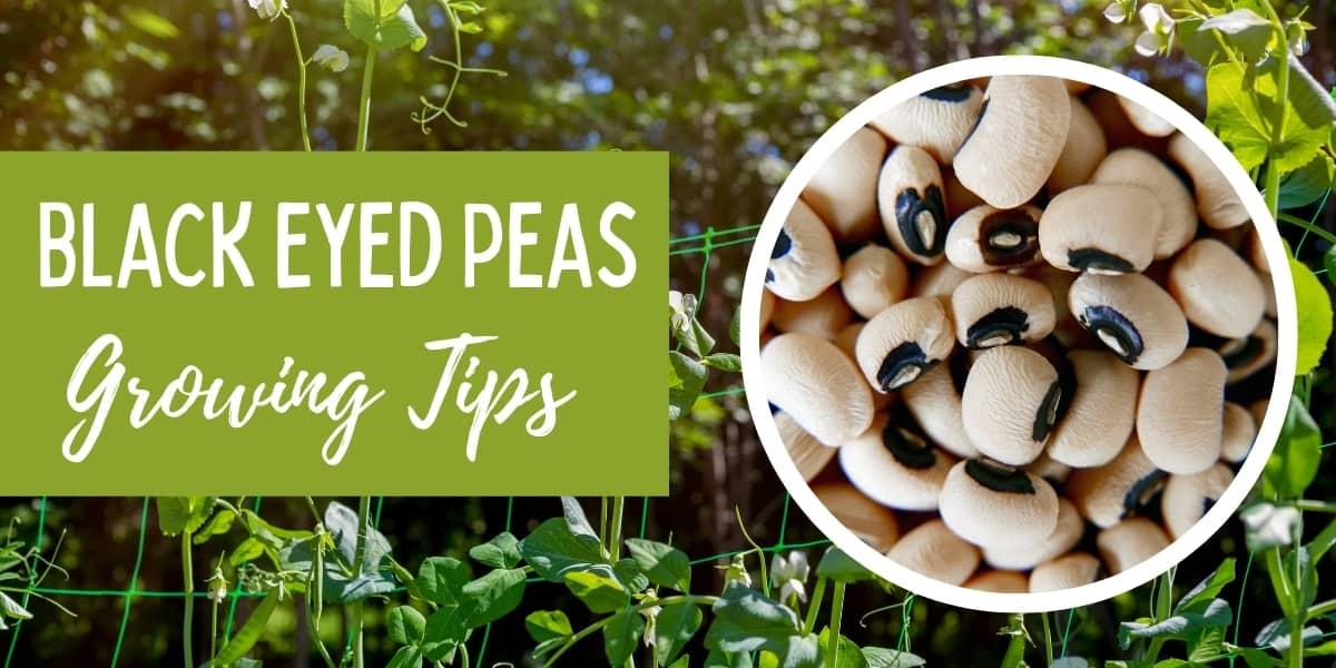 growing black eyed peas