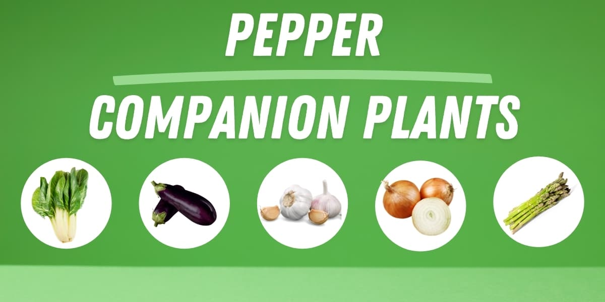 companion plants for peppers