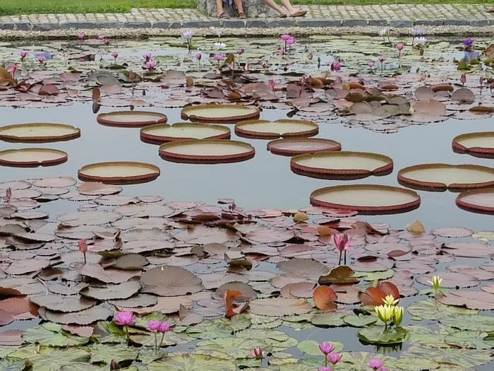 A Full-Fledged Lily Pond