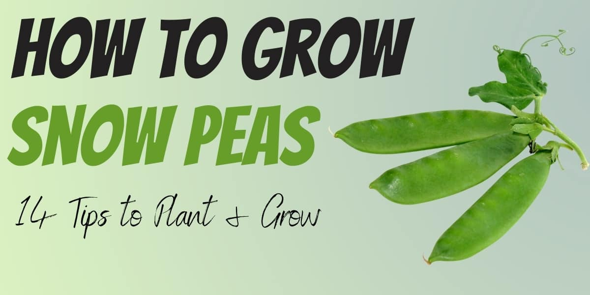 how to grow snow peas