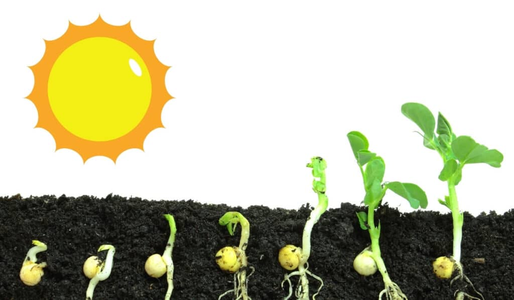 how to grow snow peas