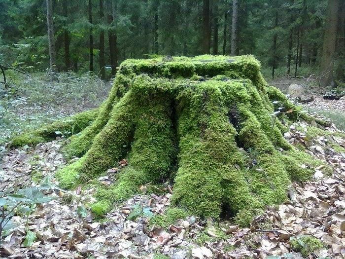 Moss Carpet Stump