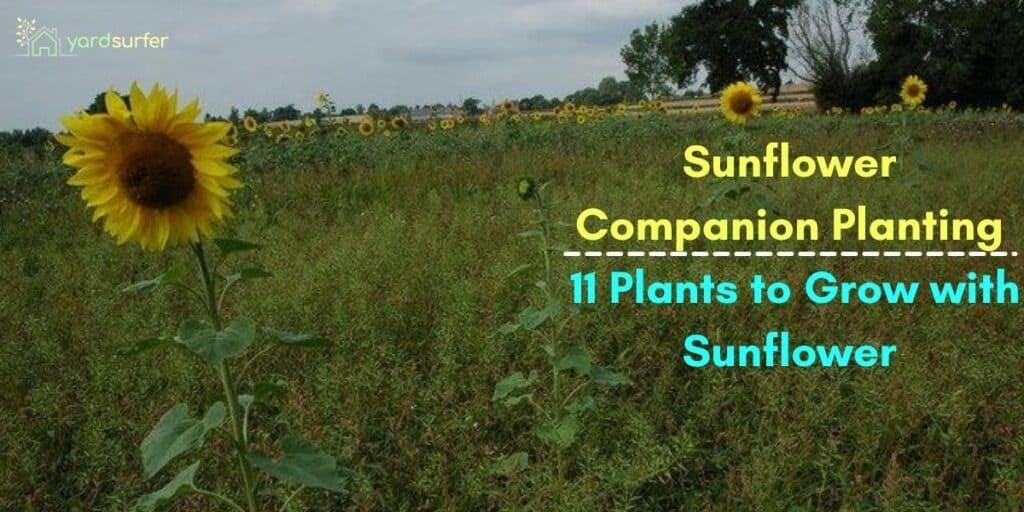 sunflower companion plants