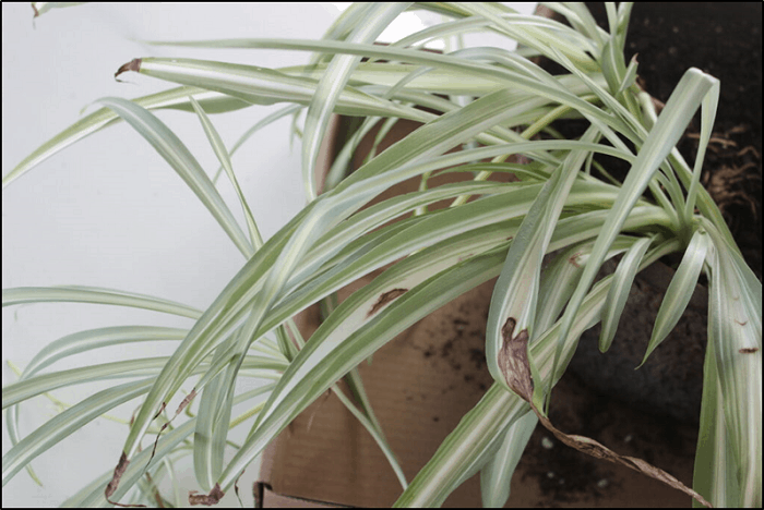 Other Common Issues in Spider Plants