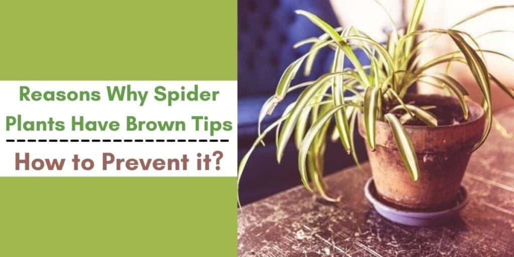 spider plant brown tips