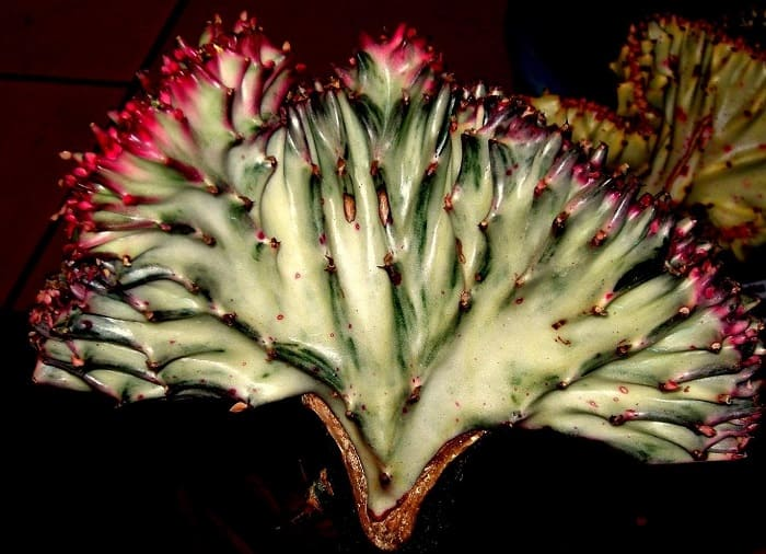 How to Grow Coral Cactus