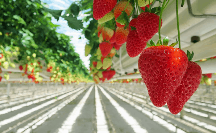 Hydroponic-System-for-Strawberries