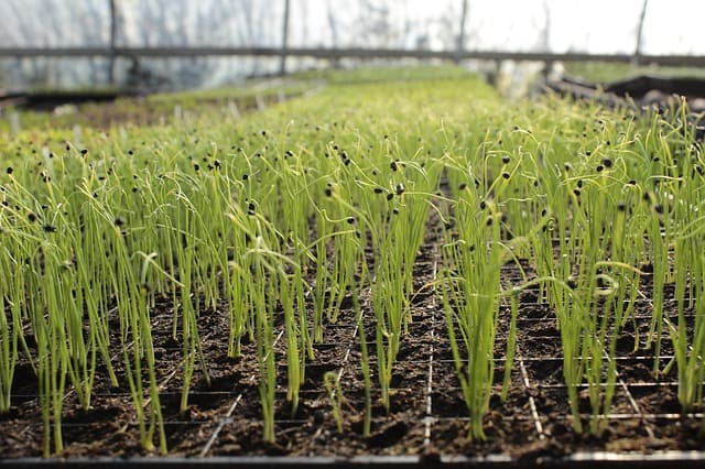 Planting and Spacing of Garlic Plants