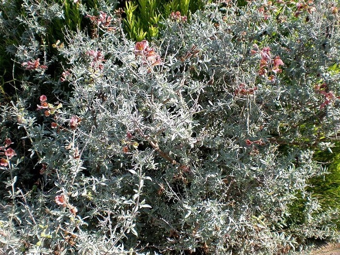 South African Sage