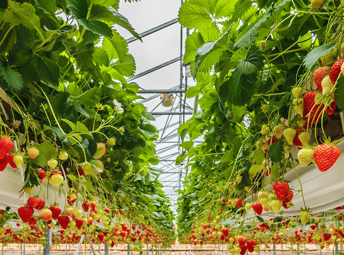 hydroponic strawberry greenhouse