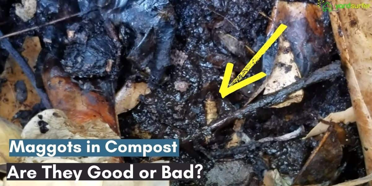 maggots in compost