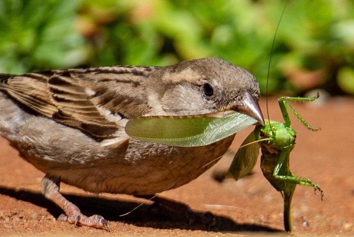 Grasshopper Eaters